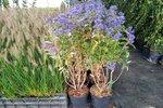 Caryopteris clandonensis 'Grand Bleu'® 50-60 cm - Blauwe spirea