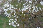 Amelanchier Lamarckii 'krentenboompje' 80-100