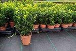 Euonymus 'green spire' 10-15 cm kardinaalshoed/muts