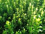 Euonymus 'green spire' 20-30 cm kardinaalshoed/muts