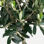 2 x Olijf (Olea europeae)