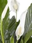 2 stuks Lepelplant Spathiphyllum Vivaldi