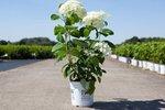 Hydrangea arb. 'strong annabelle®' 30-50 cm (incrediball®)