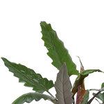 Decorum Alocasia Lauterbachiana met Elho brussels living black(dpallaut19)