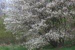 Amelanchier Lamarckii 'krentenboompje' 60-80 - blote wortel