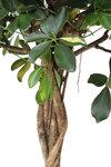 Schefflera Arboricola Gold Capella(SGC19)