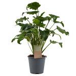 Decorum Philodendron Xanadu Feel Green(640293)