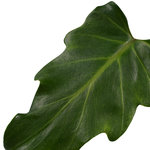 Decorum Philodendron Xanadu Feel Green(640293)
