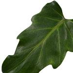 Decorum Philodendron Xanadu Feel Green met Elho B.for soft antracite(640293)