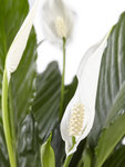 Lepelplant Spathiphyllum Vivaldi