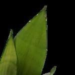 Sansevieria Moonshine