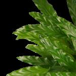 Calathea Bluegrass