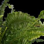 Nephrolepis exaltata 'Green Lady'