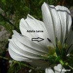 Larven van Lieveheersbeestjes | Adalia