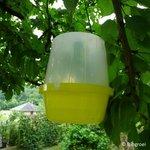Feromooncapsule kersenvlieg (Rhagoletis Cerasi)