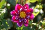 1 x Dahlia Fantastico- biologische bloembol