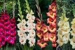 Gladiolus Bambino MIX - Biologische bloembollen