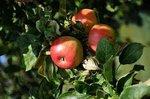 Malus d. 'Elstar' - Elstar appel - Bio fruitboom