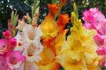 7 x Gladiolus MIX - Biologische bloembollen