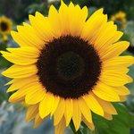 Gele zonnebloem 'Helianthus debilis' grootbloemig - Bio bloemenzaden