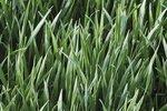 Winterrogge - groenbemester - Bio zaden