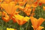 Slaapmutsje, oranje - Bio bloemenzaden