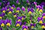 Driekleurig viooltje 'Viola tricolor' - Bio bloemenzaden