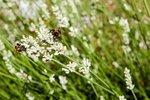 Lavendel 'lavandula angustifolia' Edelweiss - WIT 10-20 cm