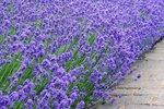 Lavendel 'lavandula angustifolia' - biologische zaden