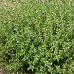 Tijm 'Duitse winter' - Bio tuinkruiden