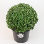 Ilex crenata Dark green® bolvorm 50/+ cm 'Japanse hulst'