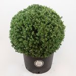 Ilex crenata Dark green® bolvorm 60/65 cm 'Japanse hulst'