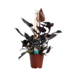 Philodendron Ruby  - Pyramide