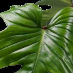 Decorum Philodendron Squamiferum  - Pyramide