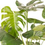 Monstera bush