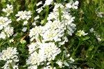 Iberis sempervirens 'Snowflake' - Scheefbloem