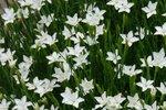 Dianthus deltoides 'Albiflorus' - steenanjer