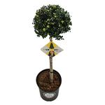 Ilex crenata Dark green® bol op stam 70/+ cm