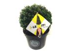 Ilex crenata Dark green® bolvorm 25/+ cm 'Japanse hulst'