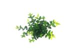 Ilex crenata Blondie® in kluit 80-100 cm