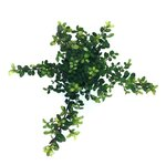 1 meter haag Ilex crenata Dark green® 10-15 cm = 7 stuks