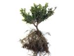 1 meter haag Ilex crenata Dark green® blote wortel 10-15 cm = 8 stuks