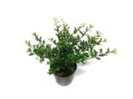 1 meter haag Ilex crenata Stokes 40-50 cm - traag groeiend = 4 stuks