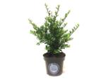 Ilex crenata Dark green® 20-30 cm