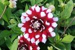 Dahlia Duet - biologische bloembol