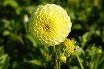 1 x Dahlia Golden Torch - biologische bloembol