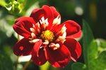 1 x Dahlia Impression Festivo - biologische bloembol