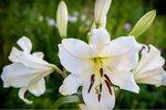 2 x Lilium Oriental (lelie) - wit - biologische bloembollen