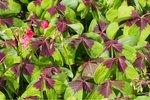 Oxalis Deppei Iron Cross - 15 stuks - biologische bloembollen