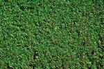 Taxus Baccata 30-40 cm blote wortel